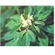 Fenugreek Extract ( trigonella foenumgraecum)