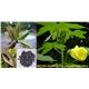 Ambrette seed oil (Musk oil)